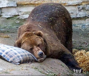 hibernation-bear